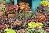 Heucheras variety mix of different kinds of mounding foliage plants, with some in flower, against blue shed door, with some in container wicker pots