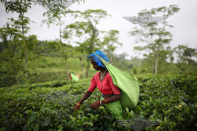 Workers pick tea at the Surma Tea Estate in Sylhet, which at over 8,000 acres is one of the largest plantations in Bangladesh. The workers are employed six days a week, from 9.30 am to 5 pm. A week's work earns them around 210 taka (3 USD). Tea is a major industry in Bangladesh, and the plantation workers in Sylhet are made up mostly of the indegenous group called the Santals. Plucking is a specialised skill. Two leaves and a bud need to be plucked in order to get the best taste and profitability.
