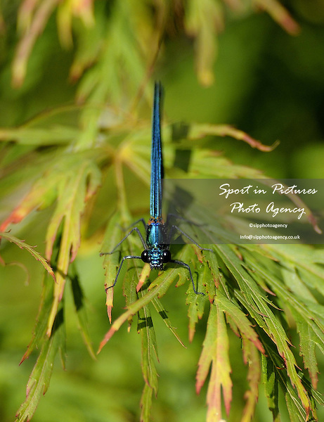 A male Banded Demoiselle damselfly