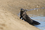 Sea Otter (Enhydra lutris) coming ashore, Elkhorn Slough, Monterey Bay, California