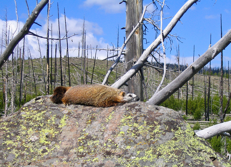 Marmot sunning itself on a lichen covered boulder with burned out tree trunks in the background.