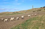 Sheep grazing near Lansdowne monument, Cherhill, Wiltshire, England, UK