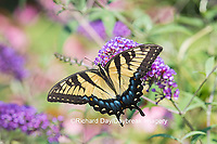 03023-02915 Eastern Tiger Swallowtail Butterfly (Papilio glaucus) on Butterfly Bush (Buddleia davidii), Marion Co., IL