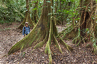 Boy looks at the trunk of a fica tree while hiking through the Jungle, Belize