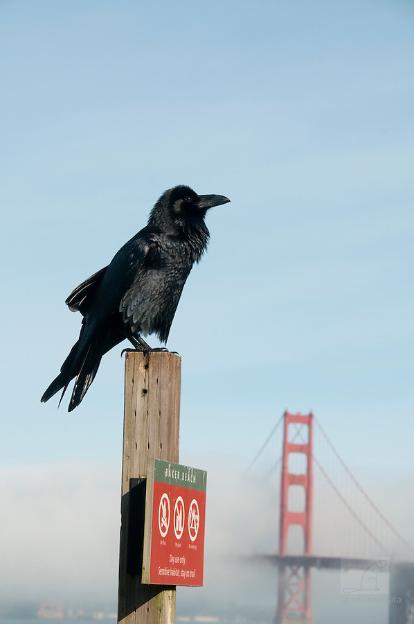 Raven at Baker Beach with the Golden Gate Bridge San Francisco in the background