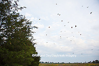 03536-05807 Monarch Butterflies (Danus plexippus) leaving roost in Eastern Red Cedar (Juniperus virginiana)  Prairie Ridge State Natural Area, Marion Co., IL