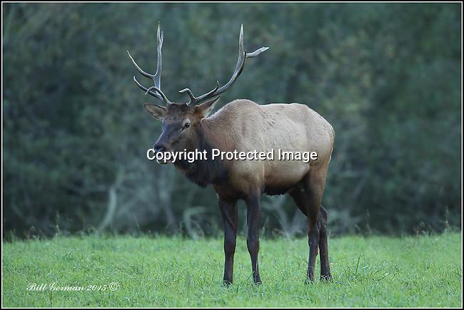 Rocky Mountain bull elk near North Bend, Wa.