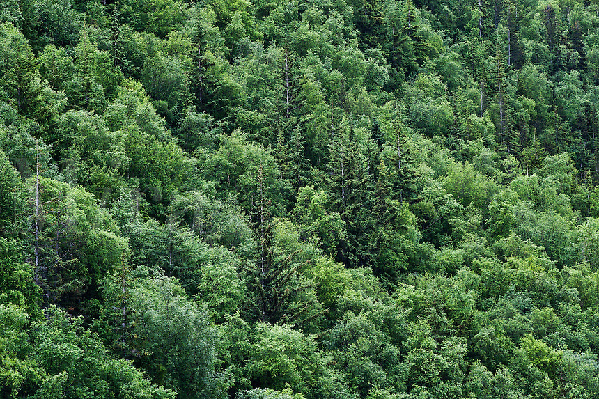 Aerial view of a forest woodland, Alaska, USA