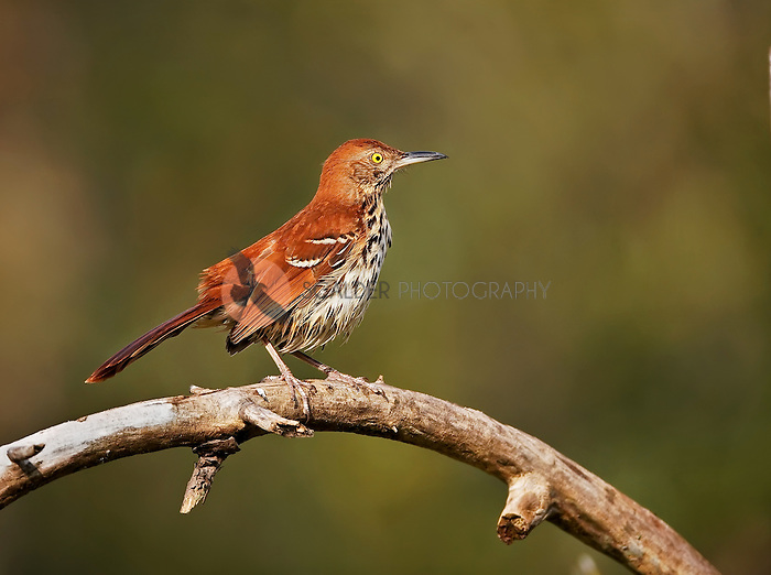 Brown Thrasher perched on a limb in profile