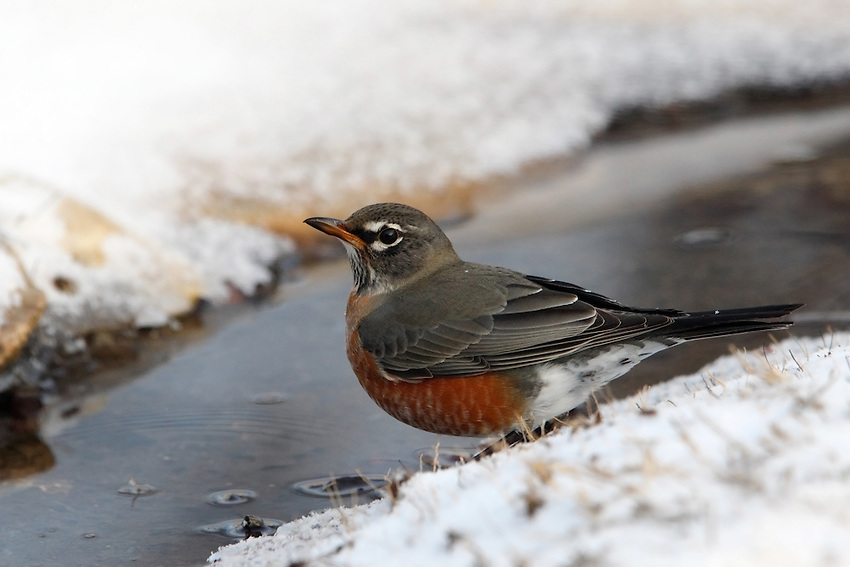American Robins are gray-brown birds with warm orange underparts and dark heads. Compared with males, females have paler heads that contrast less with the gray back (seen here).