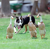 One of Dave Mark's border collies trains with tame ducks. David is the owner of the Geese Police, a business that gets rid of problem geese in populated areas. photo by jane therese