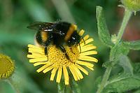White-tailed Bumblebee - Bombus lucorum