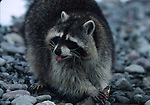raccoon eating fish