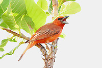 Sanhaçu de fogo<br /> Aves da Amazônia.<br /> Roraima, Brasil.<br /> Foto Jorge Macedo