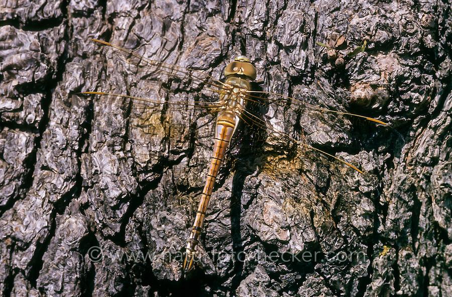 Schabrackenlibelle, Weibchen juvenil, Schabracken-Libelle, Schabracken-Königslibelle, Anax ephippiger, Hemianax ephippiger, vagrant emperor, female