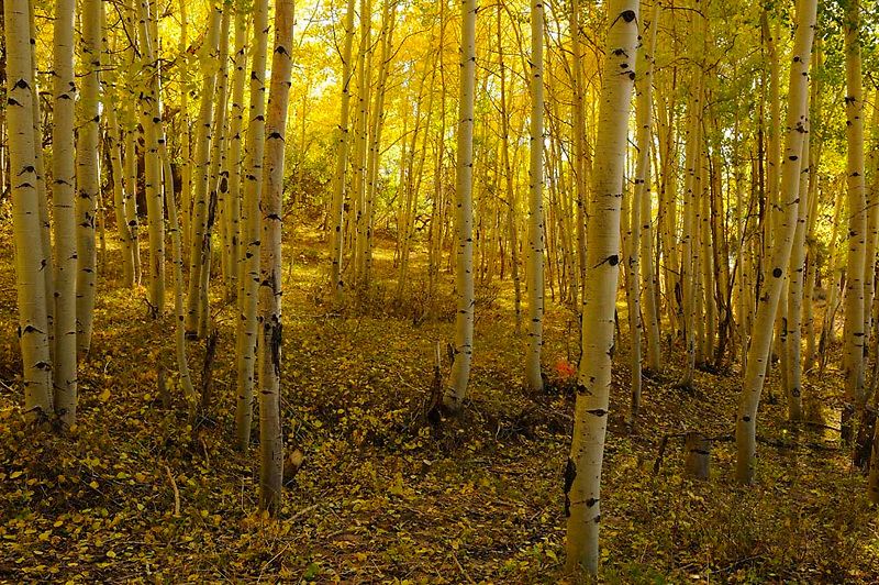 In this golden aspen grove at sunset the lone maple shows its red on the forest floor.  <br /> Thus I call this photo the lonely maple.