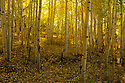In this golden aspen grove at sunset the lone maple shows its red on the forest floor.  <br />