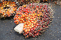 A close-up of an oil palm fresh fruit bunch (FFB) awaiting inspection and processing at the mill. The Sindora Palm Oil Mill, owned by Kulim, is green certified by the Roundtable on Sustainable Palm Oil (RSPO) for its environmental, economic, and socially sustainable practices. Johor Bahru, Malaysia
