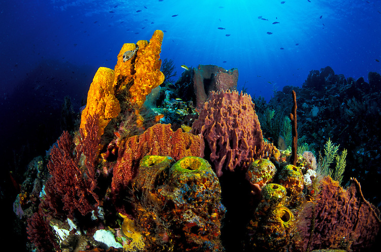 A Dominican coral reef scape comprising various tube and barrel sponges and a Smooth Trunkfish