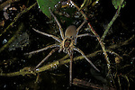 Raft Spider, Heteropodidae sp. on pond surface, Tobago/Trinidad.Trinidad....