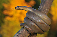 Rubber Boa (Charina bottae)