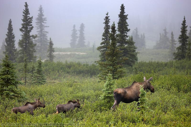 Cow moose and spring calves travel the taiga of Denali National Park, Interior, Alaska.