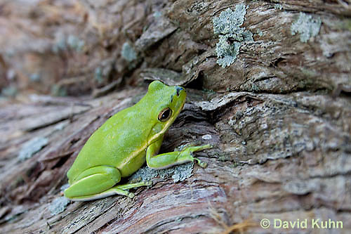 0605-0909  American Green Treefrog at Outer Banks North Carolina, Hyla cinerea  © David Kuhn/Dwight Kuhn Photography.