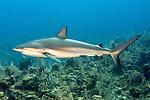 Carcharhinus perezii, Caribbean reef shark, Exuma, Bahamas