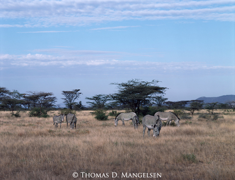 A group of Grevy's zebras graze near Buffalo Springs, Kenya.