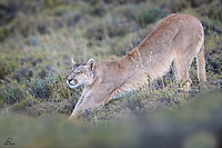 """""""Like a (Big) House Cat"""" - Wild female Puma (Puma concolor) rises to take a stretch. She was interested in a herd of Guanaco. They could see her but she just followed them. Apparently she would wait until dark when her odds were better."""
