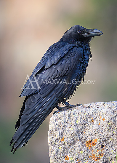 The common raven is a highly intelligent bird.  The largest ones seem to congregate near picnic areas, where they can steal an easy meal.