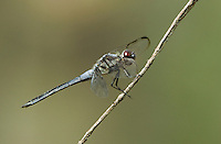 389100002 a wild male bar-winged skimmer libellula axilena an uncommon dragonfly perches on a dead twig in the angelina national forest jasper county texas