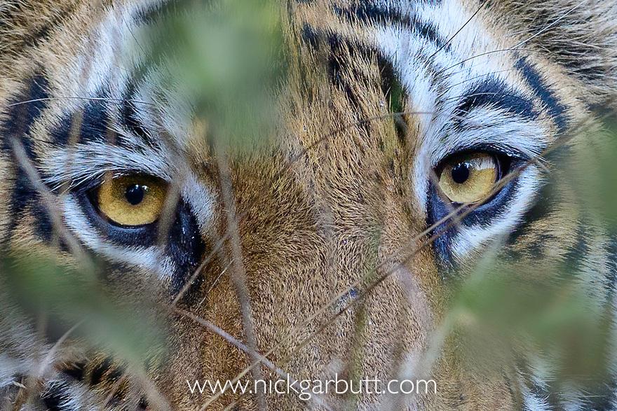 Eyes / face of female Bengal tiger (Panthera tigris tigris) walking through tall grassland. Bandhavgarh National Park, Madhya Pradesh, Central India.