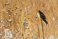 Northern Harriers are slender, medium sized raptors. However, unlike most hawks, they have flat owl-like faces with small, sharply hooked bills. Here, a female Northern Harrier sits in a field in Colorado after a recent snowfall.