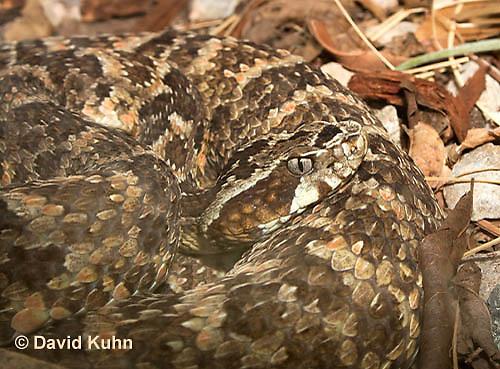 0428-1105  Caatinga Lancehead Pitviper, Brazil Caatinga Region, Bothrops erythromelas  © David Kuhn/Dwight Kuhn Photography