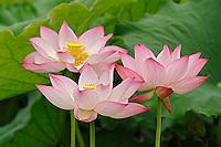 Lotus flower, Nelumbo nucifera, China