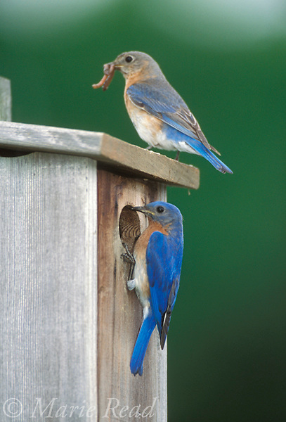Eastern Bluebirds (Sialia sialis), pair at nestbox, Ithaca, New York, USA.<br /> Slide # B136-224