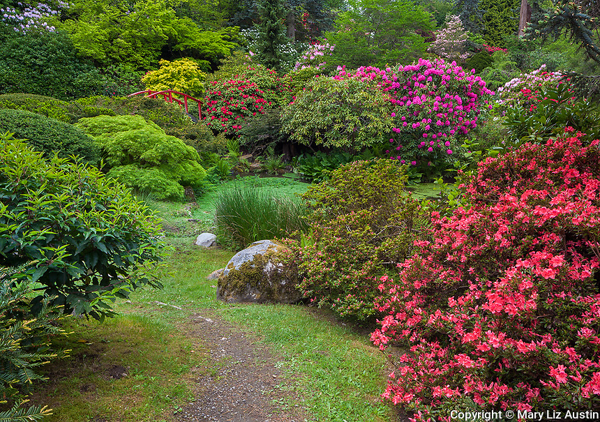 Kubota Garden, Seattle, WA: Rhododendrons and azaleas blooming in a dazzling display of colors surrounding Moon Bridge