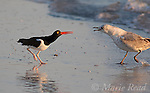 Altercation between American Oystercatcher (Haematopus palliatus) and Ring-billed Gull (1st winter) (Larus delawarensis), Fort De Soto Park, Florida, USA<br />