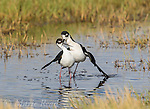 Black-necked Stilts (Himantopus mexicanus) pair performing post-copulatory display (as copulation ends, the male slides off the female leaving his wings draped over her and crossing his bill with hers, the pair remain like this as they walk a few steps together), Bear River Migratory Bird Refuge, Utah, USA