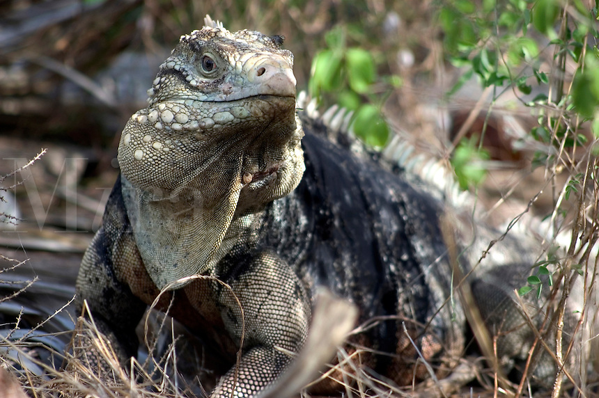 Cayman Rock Iguana (Cyclura nubila caymanensis) in Cayman Brac, Cayman Islands.