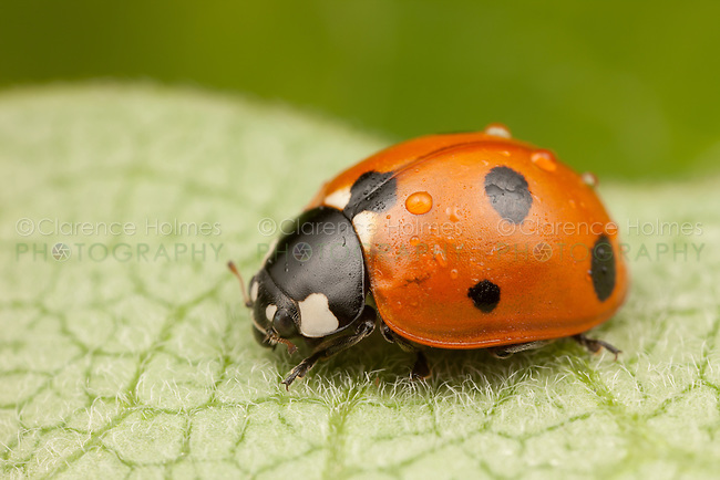 A Seven-spotted Lady Beetle (Coccinella septempunctata) covered with raindrops after a brief rain shower, Ward Pound Ridge Reservation, Cross River, Westchester County, New York