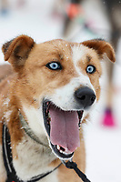 Robert Redington's dog Aurevoir is ready to keep going in the afternoon at the Takotna checkpoint on Thursday March 7th during the 2019 Iditarod Trail Sled Dog Race.<br /> <br /> Photo by Jeff Schultz/  (C) 2019  ALL RIGHTS RESERVED