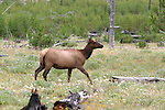 The elk or wapiti (Cervus canadensis) is one of the largest species of deer in the world and one of the largest land mammals in North America