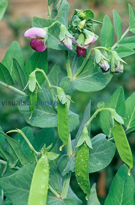 Garden Pea flowers and pods (Pisum sativum), genetic traits studied by Gregor Mendel.