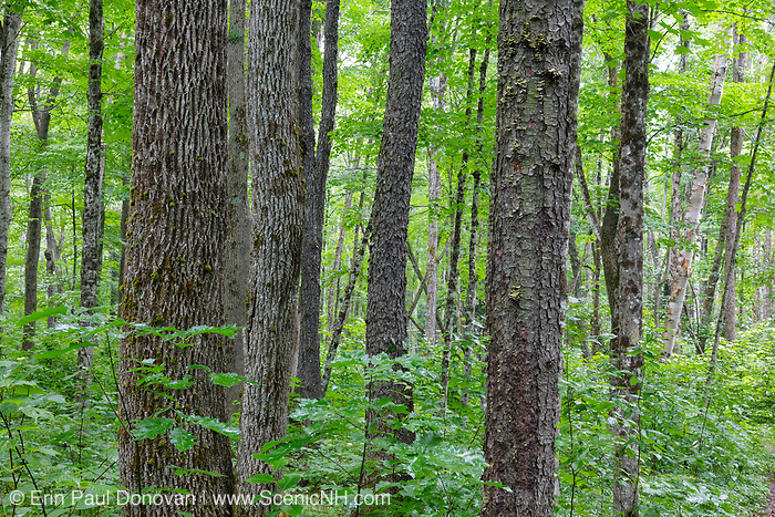 Hardwood forest along the Osseo Trail in Lincoln, New Hampshire USA. This area was part Camp 8 along the old East Branch & Lincoln Railroad, which was a logging railroad in operation from 1893-1948.