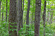 Hardwood forest along the Osseo Trail in Lincoln, New Hampshire. This area was part of logging Camp 8 along the old East Branch & Lincoln Railroad, which was in operation from 1893-1948.