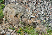 Wild Coyotes (Canis latrans)--mother in act of regurgitating food for young pups.  Western U.S., June.