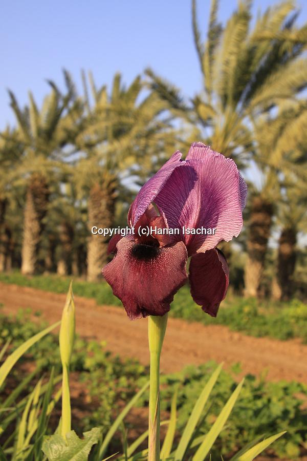 Israel, Beth Shean Valley, a field of Iris flowers in Kibbutz Tirat Zvi