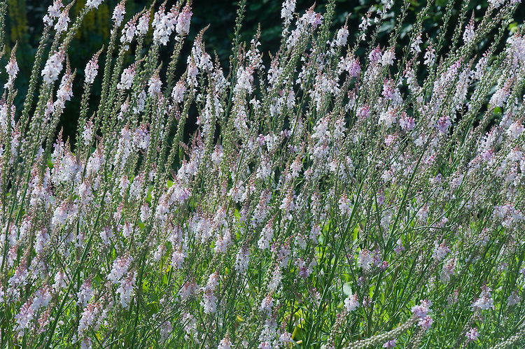 Linaria purpurea 'Canon Went', mid July. Purple toadflax, an erect perennial of slender habit, with linear leaves and long racemes of pale pink flowers in summer and autumn.